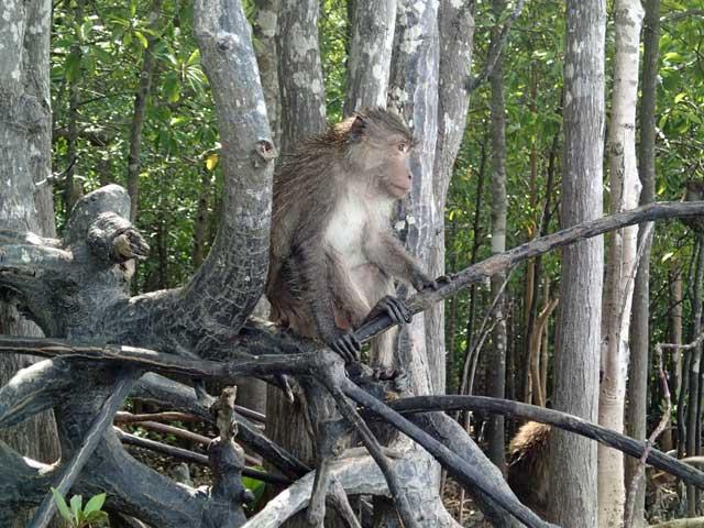 Mangrove monkey in Thailand