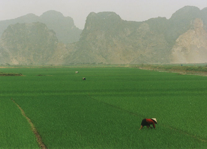 Rice fields in Vietnam