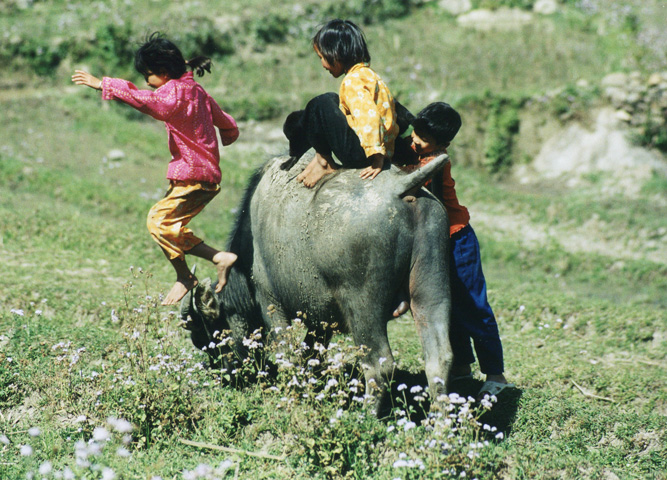 Children playing on a buffalo in Vietnam