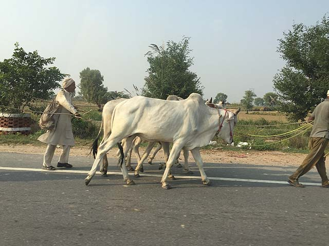 Cows on the road in Rajasthan
