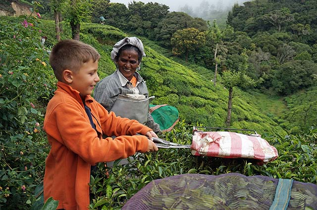 Trimming the tips of the tea leaves in Munnar , India. Asia with kids.