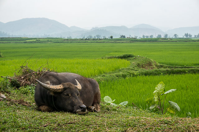 Buffalo relaxes in the rice paddy fields around Phong Nha Vietnam