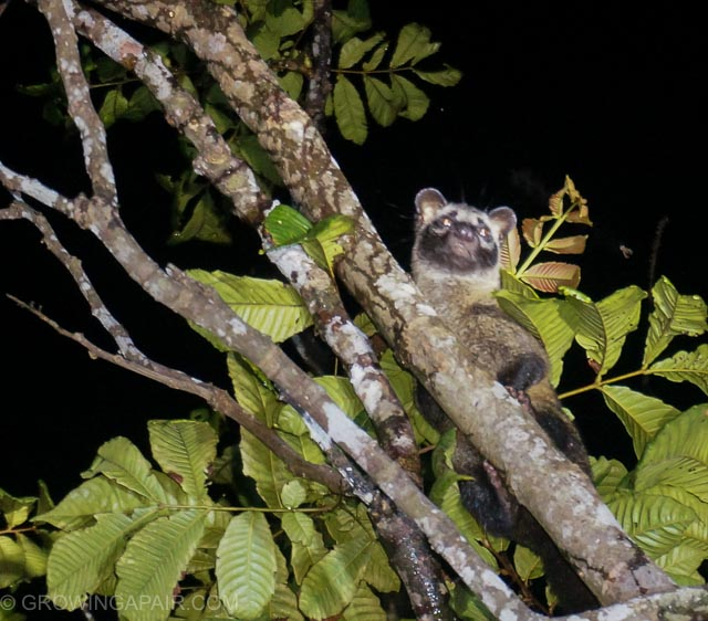 A civit cat up a tree in the Borneo jungle
