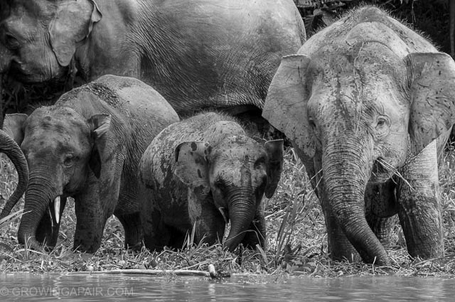 Baby Asian elephant next tot he Kinabatangan river