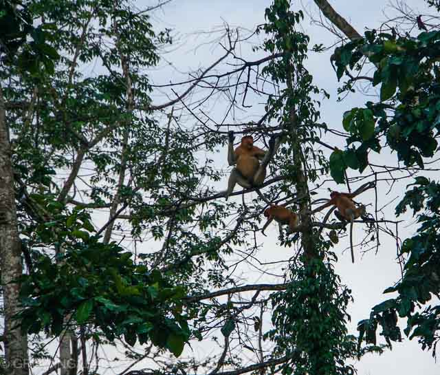 Kinabatangan wildlife sanctuary proboscis monkeys, Borneo, Malaysia