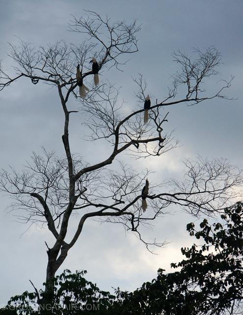 Hornbills roosting, Kinabatangan, Malaysia, Borneo.