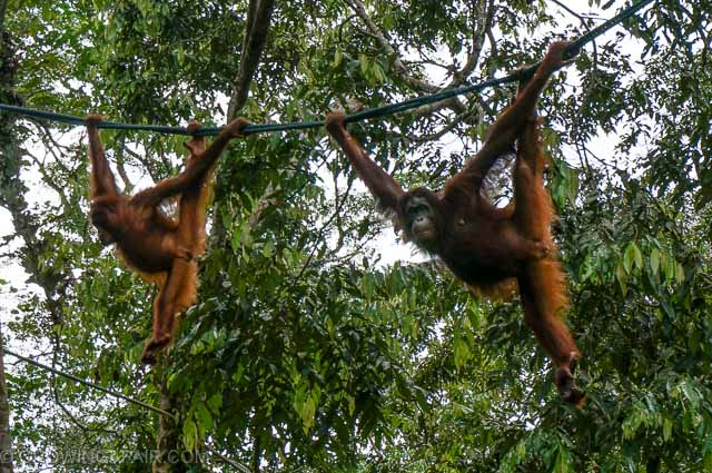 Orangutans swing through the trees at Semenggoh Nature Reserve