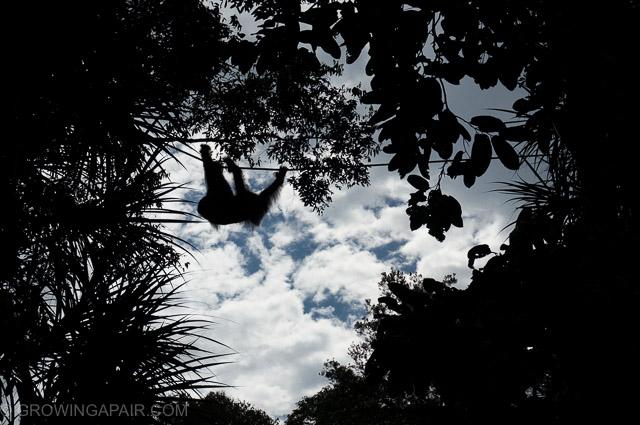 Orangutan silhouette