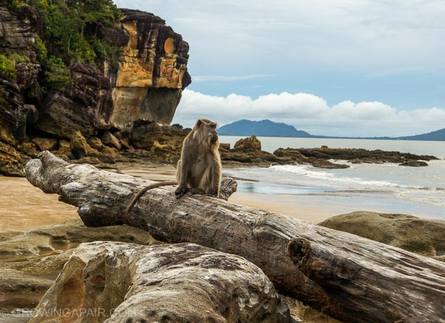 Macaque monkey on the beach in Bako National Park, Borneo
