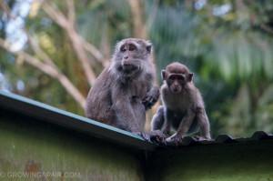 Bako National Park macaques, Borneo