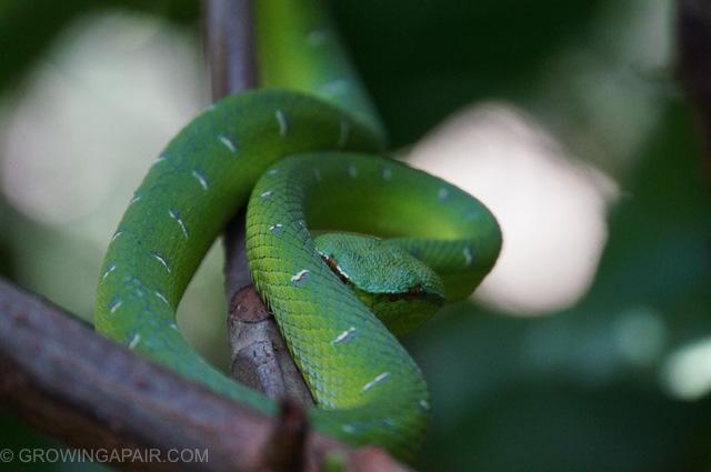 Bako National Park, Borneo, Pit viper