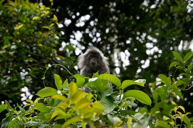 Silvered leaf monkey Borneo Bako National Park Malaysia
