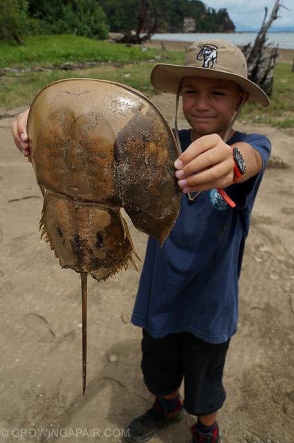 Horseshoe crab shell, Bako National Park, Borneo