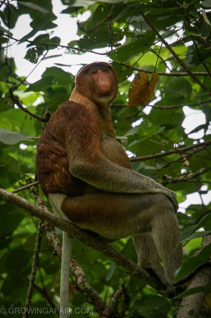 Probascis monkey Bako National Park Borneo