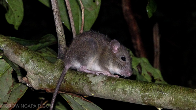 Sleeping rodent in the jungle, Borneo