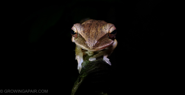 Night frog in the jungles of Borneo