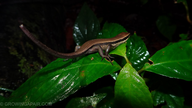 Borneo lizard at night in the jungle