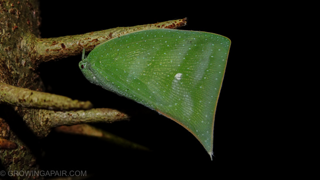 Leaf insect hiding in the jungle Borneo