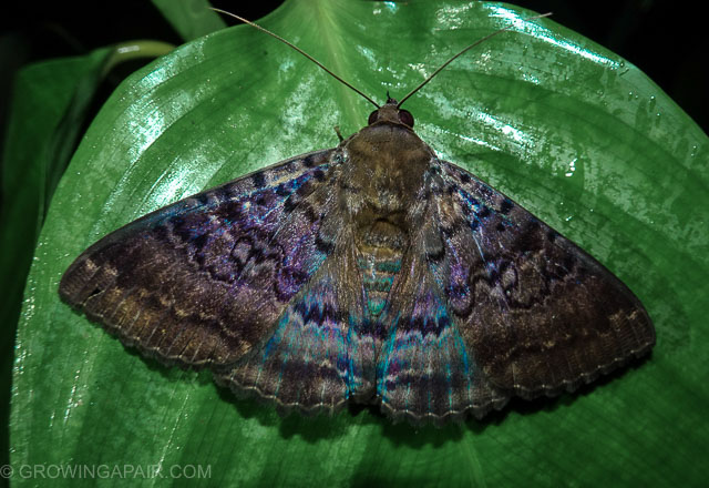 Colourful moth in the jungle, Borneo