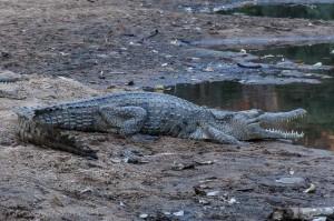 Windjana Gorge freshwater crocodiles