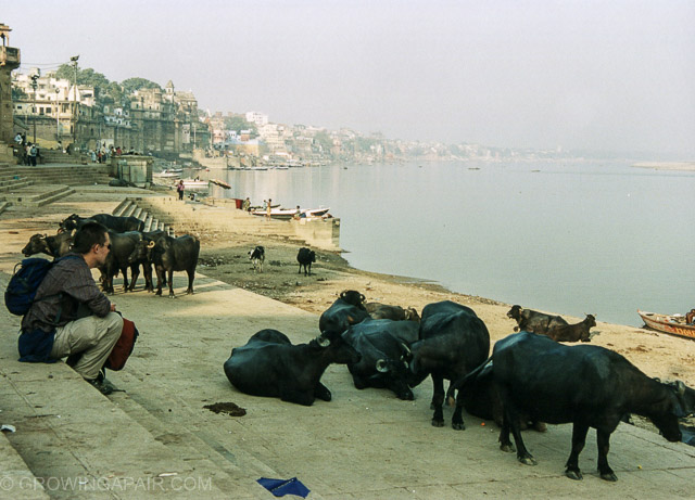 Cows on the banks of the Ganges