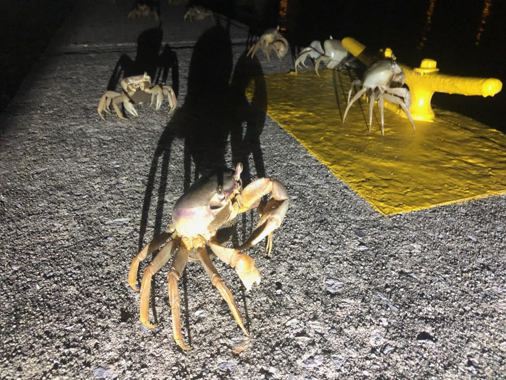 Ghost crabs in the marina SBM