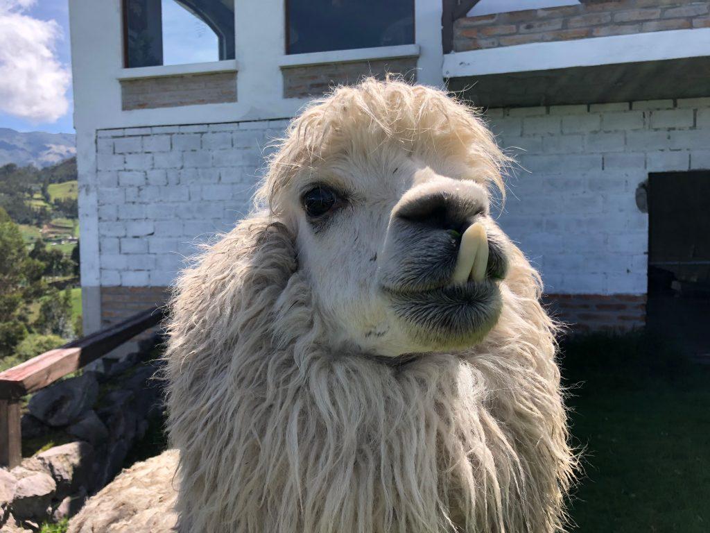 Good looking llama in Ecuador